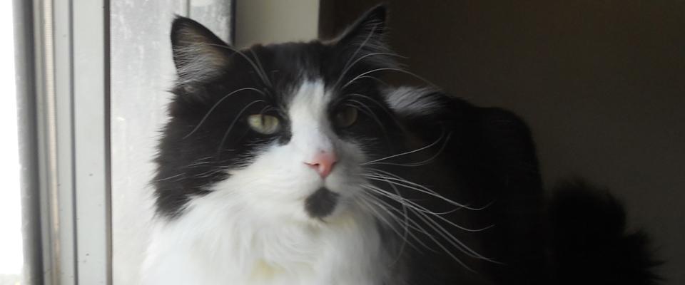 manny-the-cat-auntie-gails-pet-sitting-ca